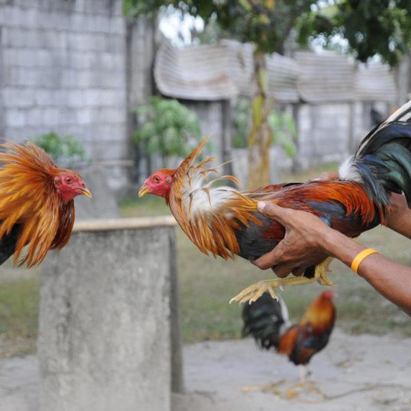 Cara Bermain Judi Sabung Ayam Tanpa Kalah