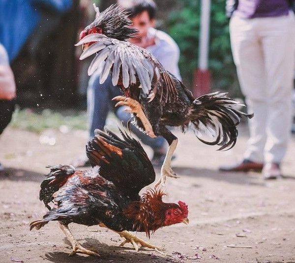 Alasan Bermain Judi Sabung Ayam S128 Terbaik